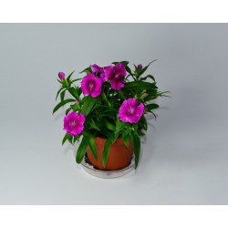 Clavel Chino-Dianthus...