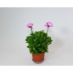Dimorfoteca-Osteospermum e....