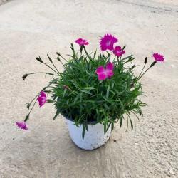 Clavelina-Dianthus...