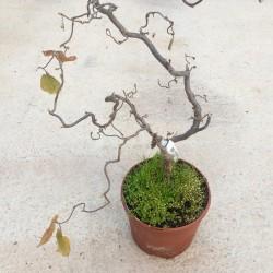 Avellano tortuoso-Corylus...