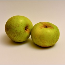 Manzano Reineta-raiz protegida