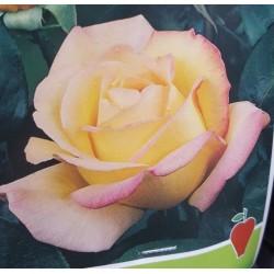 Rosal BICOLOR ANTIGONE flor...
