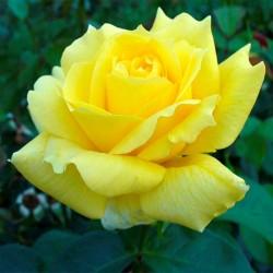 Rosal AMARILLO LANDORA flor...