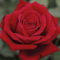 Rosal ROJO flor Grande raíz...