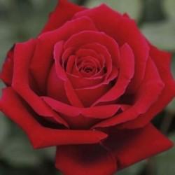 Rosal rojo flor Grande