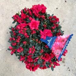 Azalea variedades flor roja...
