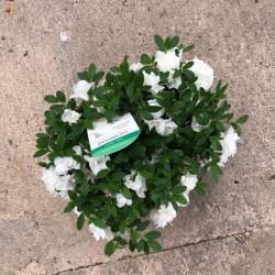 Azalea variedades flor...