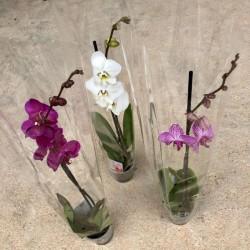 Orquidea-Phalaenopsis 1...
