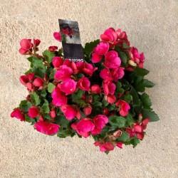 Begonia Elatior extra M-17