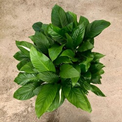 Espatifilo - Spathiphyllum...