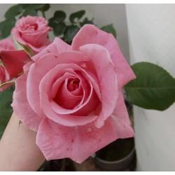 Rosal  rosa JOSEFINA...