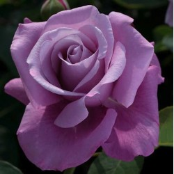Rosal Malva LADY X  flor...