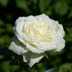 Rosal BLANCO Clásico flor...
