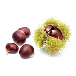Castanea sativa (castaño)