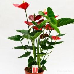 Anturio-Anthurium andreanum...