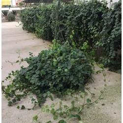 Ficus pumila-repens T-23