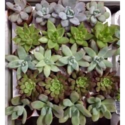 Mix plantas crasas C-5 20...