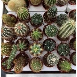 Mix cactus C-5 20 UNIDADES