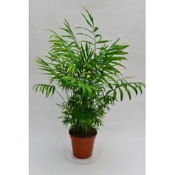 Chamaedorea elegans - Palma...
