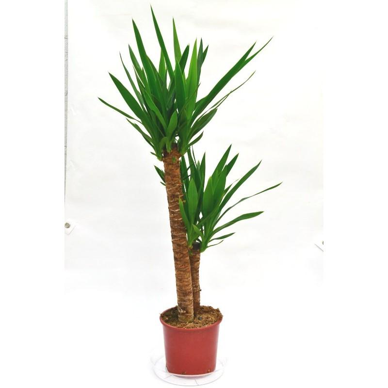 Tronco yuca yucca elephantipes c 18 for Planta yuca exterior