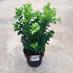 Boj-Buxus sempervirens 1.5 Lts