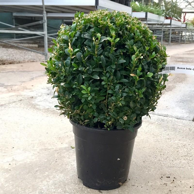Boj buxus sempervirens bola 20 25 cm for Arbolitos para jardines pequenos