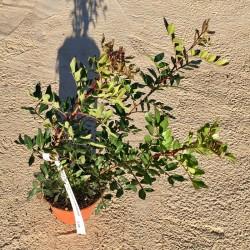 Pistacia lentiscus-Lentisco...