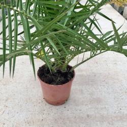 Palmera canaria-Phoenix...