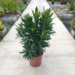 Adelfa- Nerium oleander...