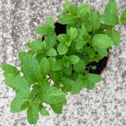Hierbabuena-Mentha spicata...