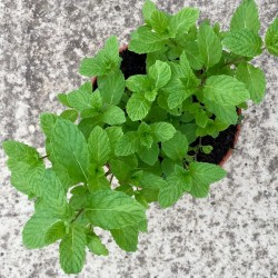 Hierbabuena-Mentha spicata