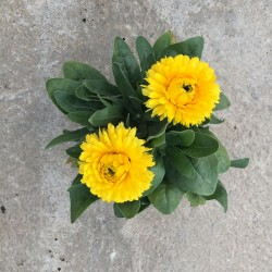 Calendula officinalis C-11