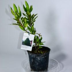 Laurel-Laurus nobilis C-14